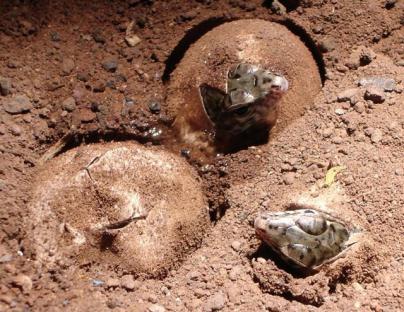 La Gomera cría en cautividad a 400 ejemplares del Lagarto Gigante