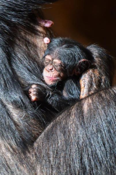 Nace una cría de chimpancé en Loro Parque