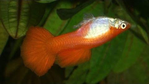 Algunos peces se comunican a través de la orina