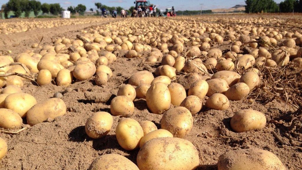 Cada español consume al año 30 kilos de papas