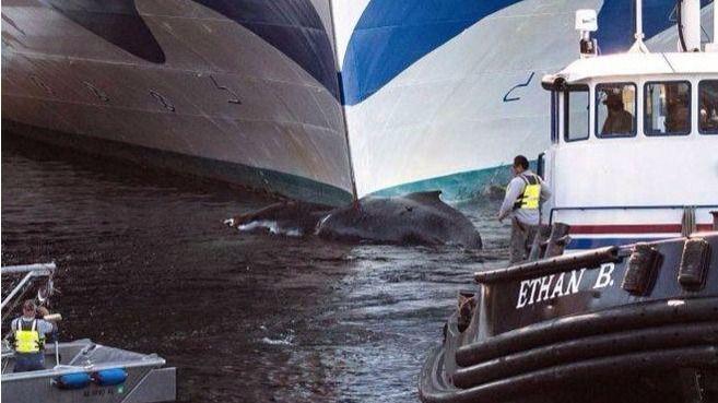 El crucero Grand Princess arrolla y mata a una ballena jorobada en Alaska