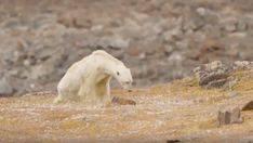 Un fotógrafo muestra la agonía de un oso polar debido al cambio climático