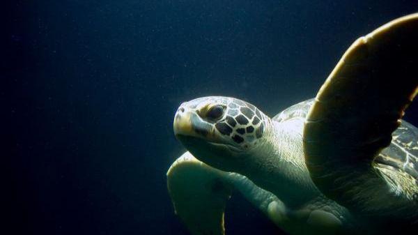 Las tortugas macho se están convirtiendo en hembras por el cambio climático
