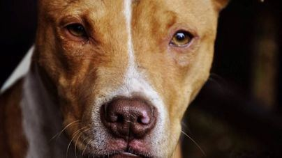 3 de cada 4 propietarios de perros peligrosos desconocen la ley