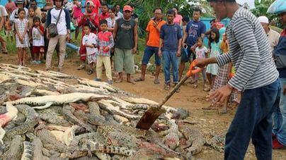 Matan con machetes y palas a 292 cocodrilos tras la muerte de un hombre