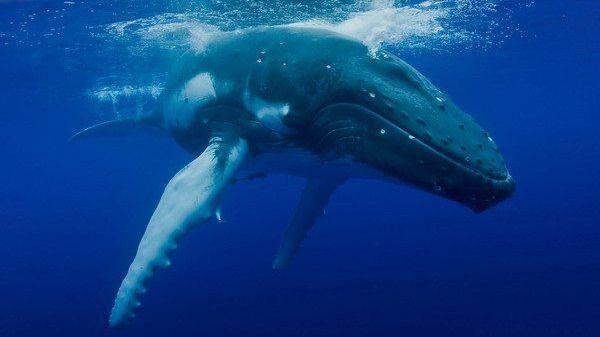 Ejemplar de ballena  rorcual común