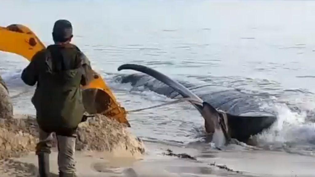 La necropsia de la ballena varada en la arena de Cala Millor se llevará a cabo 'in situ' este lunes