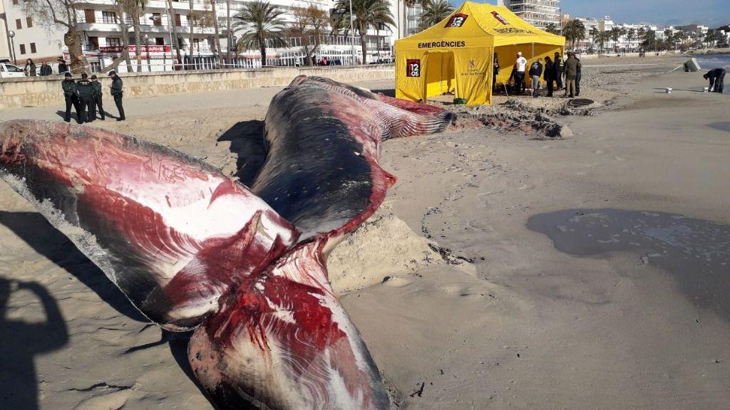 Expertos de Barcelona se trasladan a Mallorca para hacer la necropsia a la ballena varada en Cala Millor