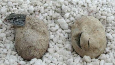 Nacen 65 nuevos ejemplares de Lagarto Gigante de La Gomera