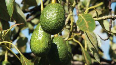 El Cabildo incentiva el cultivo de aguacates para la recuperación agrícola de las medianías de La Gomera