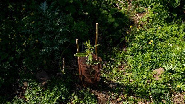 Cerca de 2.000 nuevos árboles cobran vida en Santa Brígida