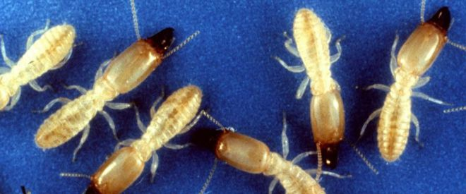 Las administraciones de Tenerife diseñan un plan de acción para erradicar las termitas