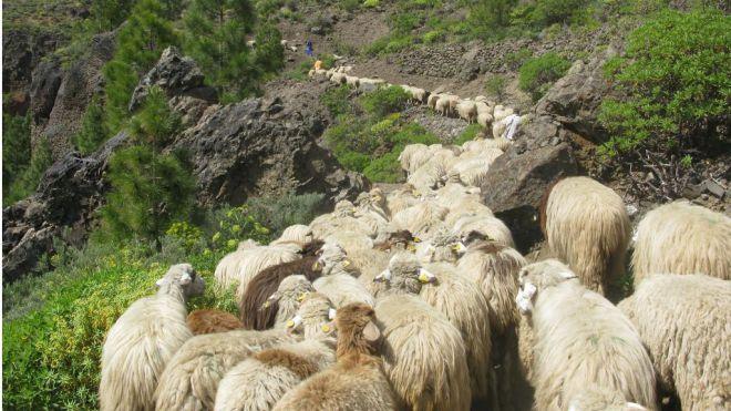 Las ovejas de 'Pepe el de Pavón' tiñen de blanco las cumbres grancanarias