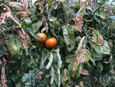 La plaga de la Tuta Absoluta pone en peligro el cultivo del tomate