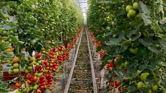 La zafra 2018/19 concluye con dos mil toneladas más de tomates exportados