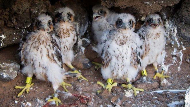 El Cabildo refuerza la vigilancia en los nidos de halcón tagorote