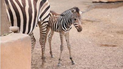 El Oasis WildLife Fuerteventura registra en las últimas semanas numerosos nacimientos