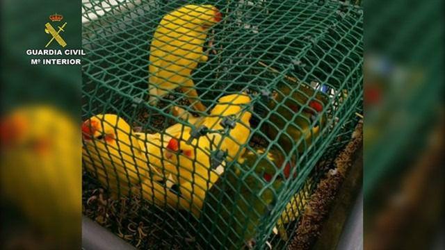 Detectan más de 60 aves ocultas en dos maletas de un pasajero en el aeropuerto Tenerife Norte