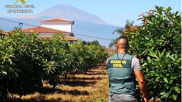 Investigan a siete personas por robar cerca de mil kilos de aguacates en el norte de Tenerife