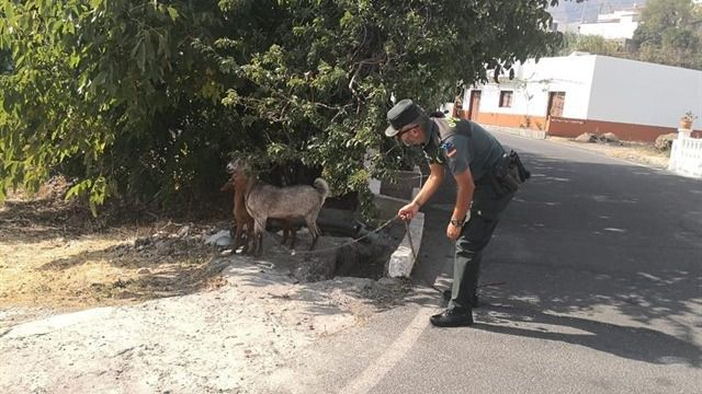 La Guardia Civil y la Policía Local de Artenara salvan casi a un centenar de animales