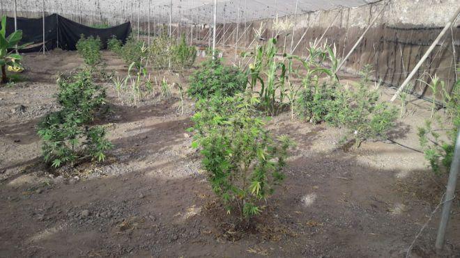 La Policía Local y Guardia Civil se incautan de 46 plantas de marihuana