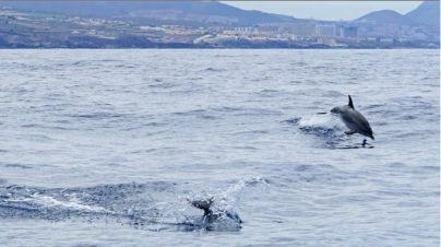 En Canarias hay 21 especies diferentes de cetáceos