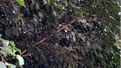 Cs exige una solución urgente a la plaga de mosca blanca que se extiende por los árboles y plantas