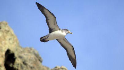 Valle Gran Rey reduce la luminosidad del alumbrado costero coincidiendo con la época de cría de la pardela cenicienta