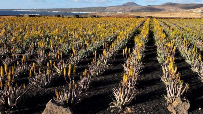 Aloe Plus Lanzarote, única empresa canaria avalada por el sello de calidad del IASC