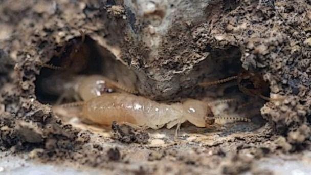 La plaga de termitas afecta a dos millones de metros cuadrados en Tacoronte