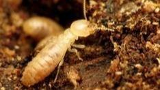 El Cabildo de Tenerife comienza a colocar los cebos para atajar la plaga de termitas en origen