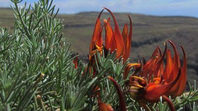 La revista científica 'Botánica Macaronésica' desvela cuatro nuevos taxones endémicos de Canarias