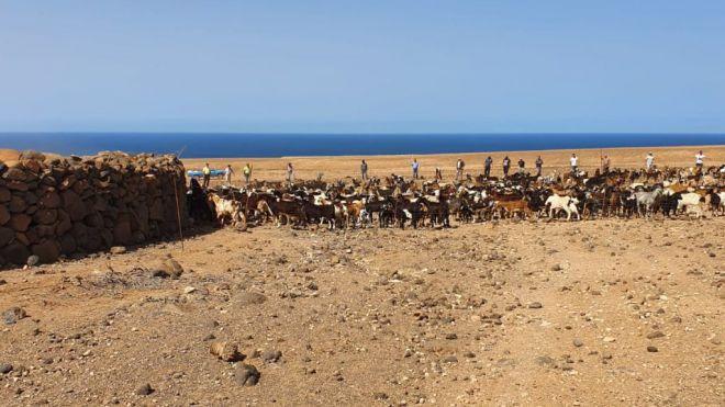 El Cabildo proporcionará ayudas económicas al sector ganadero de Fuerteventura
