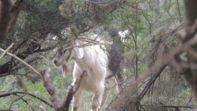 CC-PNC solicita información sobre los resultados de las apañadas de cabras y ovejas en Teno y Anaga