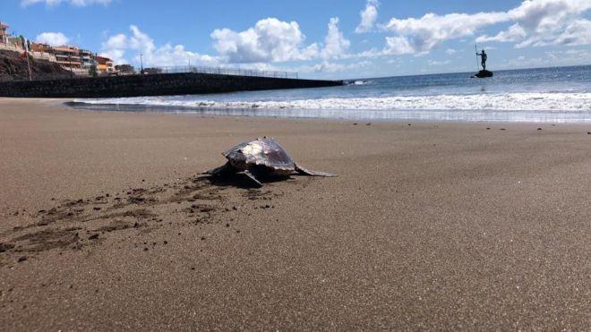 Devuelven al océano una tortuga hallada enredada en un saco de rafia hace una semana en Las Canteras