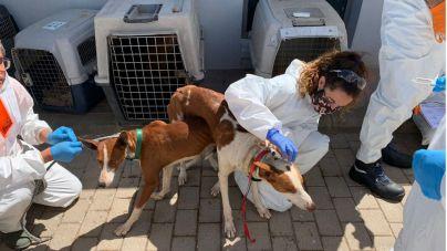 El Albergue de Animales recepciona los 84 perros confiscados en una finca de Agüimes