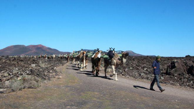 Camelleros reanudan paseos el 1 de julio en Timanfaya