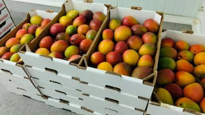 El Hierro recolectará 100.000 kilos de mango en 2020