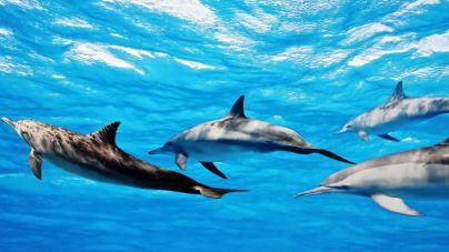 El IUSA ULPGC monitorizará las enfermedades de cetáceos