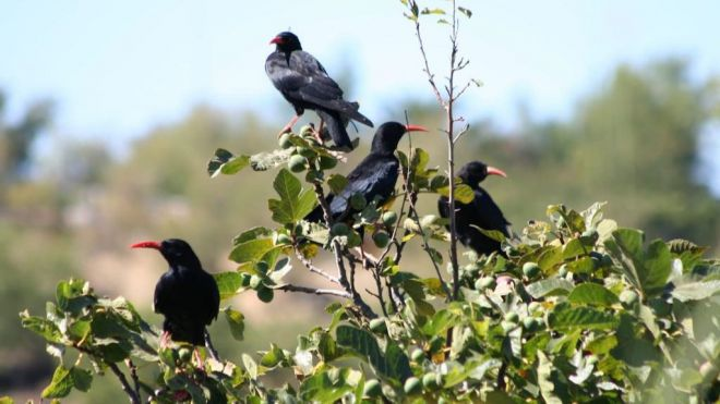 Medio Ambiente actualiza el censo de las grajas después de una década del último recuento