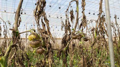 Un hongo pone en peligro la zafra del tomate en La Aldea