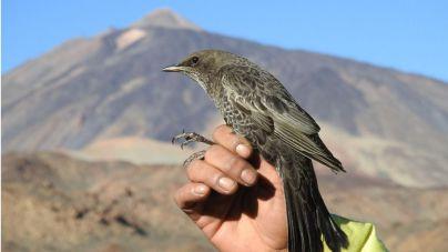 El mirlo capiblanco en el Teide contribuye a asegurar la pervivencia del cedro canario