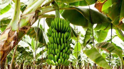 NC enmienda la nueva ley de cadena alimentaria para proteger al plátano