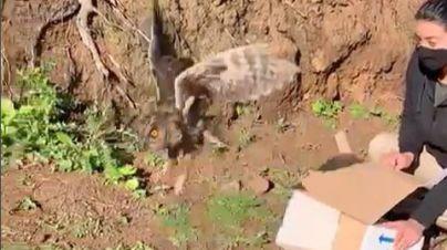 El Centro de Rehabilitación de Fauna Silvestre libera a un búho que había quedado atrapado en una trampa para roedores