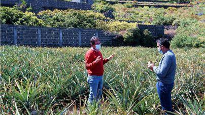 El Cabildo resalta la viabilidad del cultivo ecológico de la piña tropical en La Palma