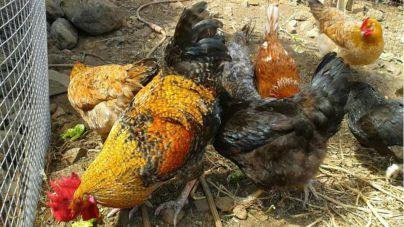 El Cabildo respalda la labor de la Asociación La Campera para la recuperación de la gallina canaria