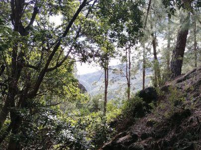 La Gomera recupera el bosque termófilo con la plantación de 20 mil ejemplares