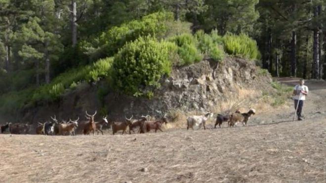 La primera experiencia de cabras Palmeras como agentes forestales