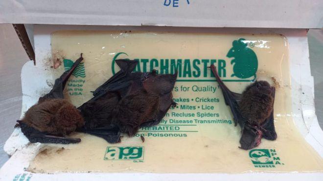 La Tahonilla ingresa siete murciélagos afectados por una trampa para ratones