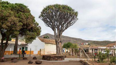 Cabildo y Ayuntamiento de Valsequillo actúan para conservar el histórico Drago de Luis Verde